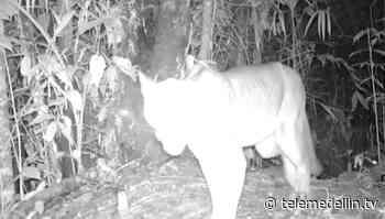 Cámaras trampa registraron dos pumas en el Alto de San Miguel - Telemedellín