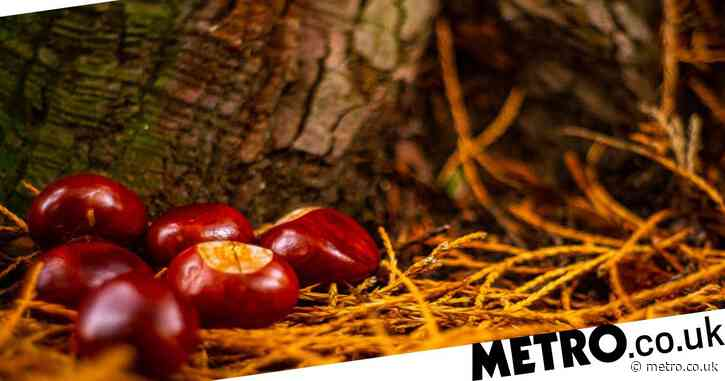 What's the best time for conkers, can you cook them and do they keep spiders away?