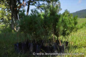 Reforestan El Ánima Sola en Paracho, con 2 mil 100 pinos - La Voz de Michoacán