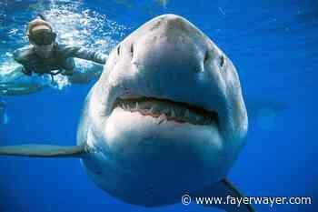 Coronavirus: medio millón de tiburones podrían morir por la vacuna del Covid-19 - Fayerwayer