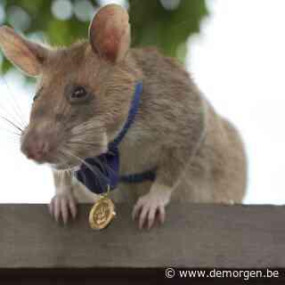 'Onze ratten mogen geen enkel explosief missen'