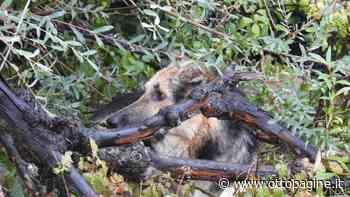 Tre cani legati e maltrattati, sanzionato pastore irpino - Ottopagine