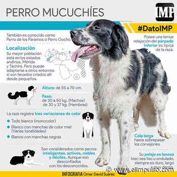 #DatoIMP Mucuchíes, el perro nacional de Venezuela #27Sep - El Impulso