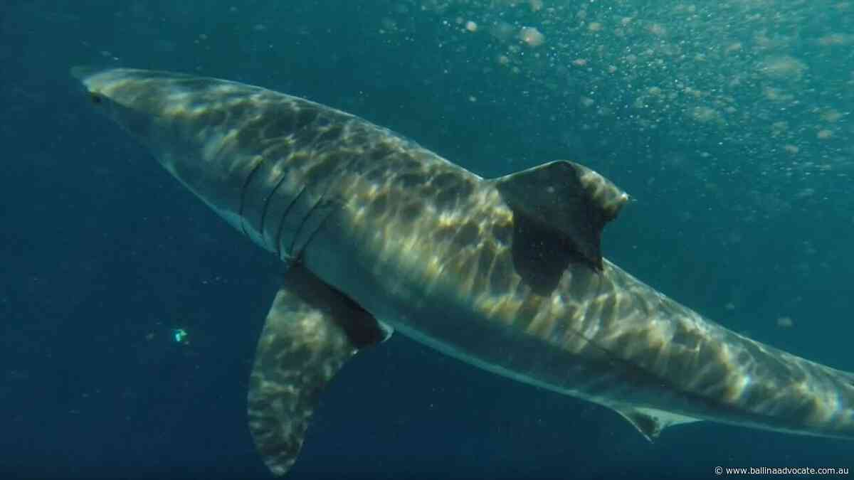2.32m shark detected at South Ballina beach - Ballina Shire Advocate