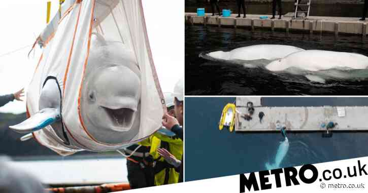 Beluga whales swim in open water for first time since rescue from aquarium