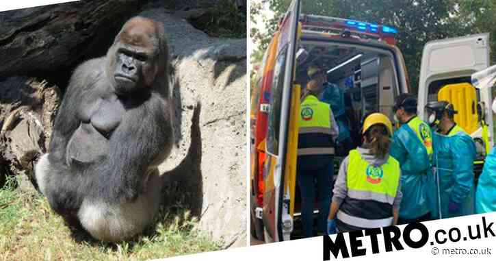 Zoo keeper mauled by 31-stone gorilla that 'broke into locked area'