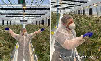 Inside Australia's secret multimillion dollar cannabis farm that's totally legal