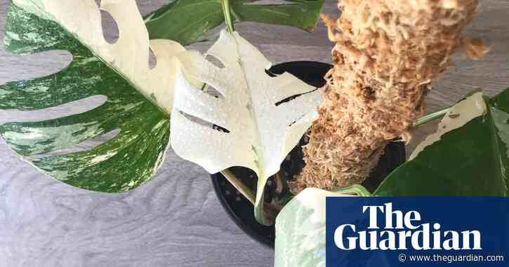 Rare and fashionable houseplant stolen from botanic gardens in New Zealand