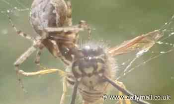 Spider rips head off live wasp trapped in its web at Birmingham home