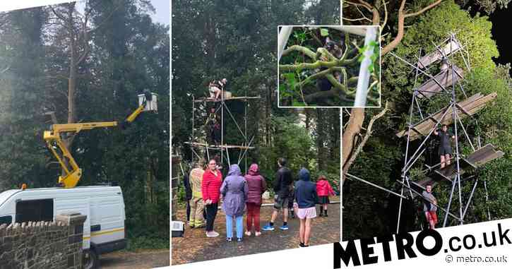 An entire town in Wales is trying to rescue a cat which is stuck up a tree