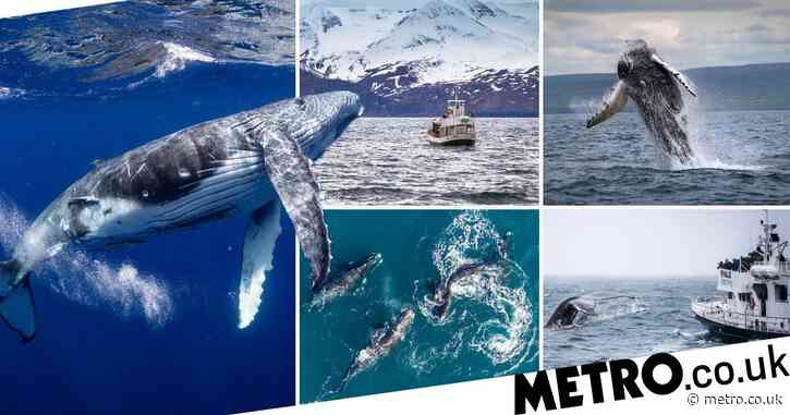 You can now book a tour to swim with whales under the 'midnight sun' in Iceland