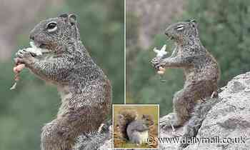 No more acorns! Hungry squirrel chows down on a LIZARD in stomach-churning images
