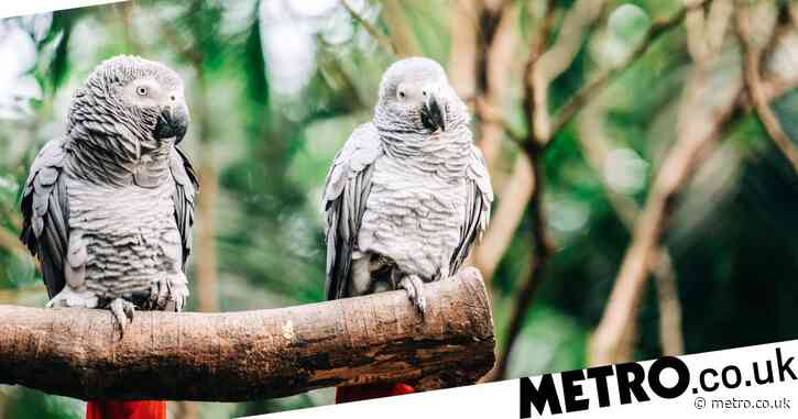 Parrots had to be removed from zoo after teaching each other to swear