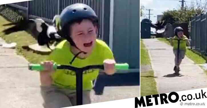Swooping magpie attacks boy on scooter as he screams in terror