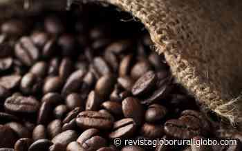 Brasil deve ter produção de café 25% maior em 2020 e salto de 20% em produtividade - Globo Rural