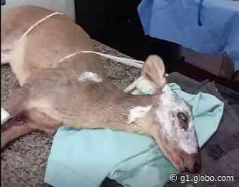 Veado catingueiro fêmea é resgatada com várias queimaduras em Conchal - G1