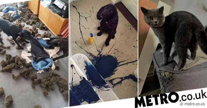 Cocker spaniel named nation's most destructive pet after completely destroying owner's carpet with blue paint