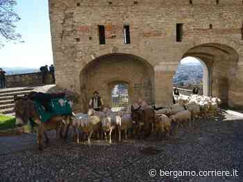 Bergamo-Dalmine, prima tappa della transumanza dei bergamini lungo le strade - Corriere Bergamo - Corriere della Sera
