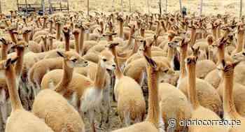 Cusco: buscan repoblar alpacas en las provincias de Urubamba y Canchis (FOTOS) - Diario Correo