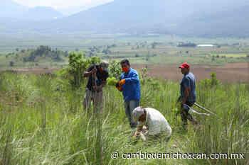 Con 2, 100 pinos, reforestan El Ánima Sola en Paracho - Cambio de Michoacán