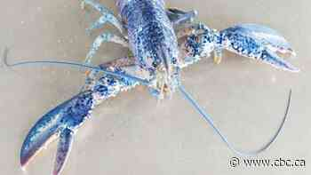 Lucky blue lobster gets kiss goodbye off western P.E.I.