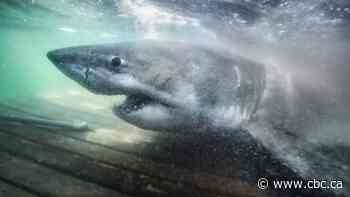 Meet Nukumi, the great white 'proper matriarch' tagged off N.S.