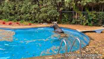 Quebec moose strolling through Trois-Rivieres decides to hop a fence and go for a swim in a backyard pool - CTV News Montreal