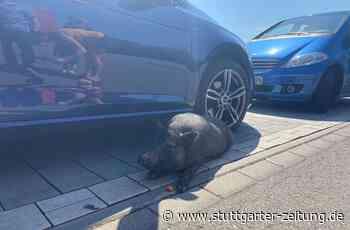 Kurioses aus Affalterbach - Hängebauchschwein büxt aus und blockiert Parkplatz - Stuttgarter Zeitung