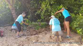 Plus de soixante tortillons trouvés morts sur la plage de Cluny - Environnement en Guadeloupe - France.Antilles.fr Guadeloupe