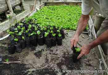 Habitantes en Nátaga le apuestan al café para su desarrollo económico - Diario del Huila