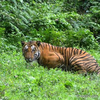 Autoridades de Atotonilco el Alto desmienten que haya un tigre libre por las vías verdes - UDG TV