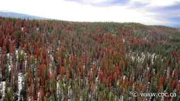 Federal cash for mountain pine beetle battle will help stretch Alberta's efforts, researcher says