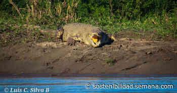 Enorme caimán fue avistado entre Puerto Boyacá y Puerto Triunfo - Colombia hoy - Semana