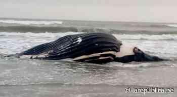 Lambayeque: reportan varamiento de ballena jorobada en Puerto Eten - LaRepública.pe