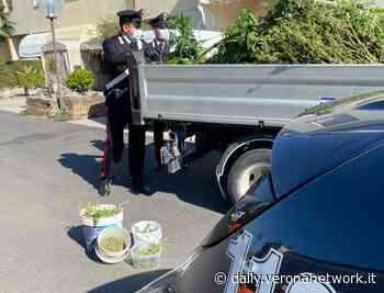 Bovolone, coltivava marijuana in casa: un arresto in via Quasimodo - Daily Verona Network