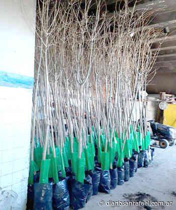 Plantarán 600 ejemplares de cina cina y algarrobos en los parques Moreno y Perón - Diario San Rafael
