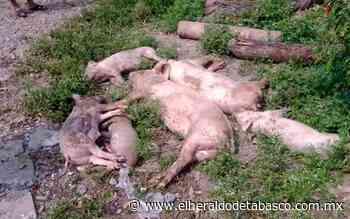 Envenenan cerdos a humilde campesino en Huimanguillo - El Heraldo de Tabasco