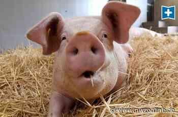 Weniger Schlachtungen bei Vion in Emstek: Druck auf Schweinehalter wächst weiter - Nordwest-Zeitung
