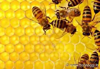 Grugliasco, fino al 20 novembre il bando per diventare allevatori di api - TorinOggi.it