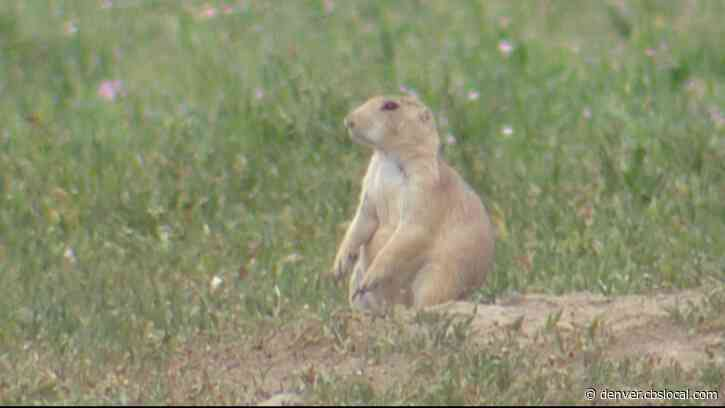 Plan To Build Pipeline Through Prairie Dog Conservation Area Of Cherry Creek State Park Approved