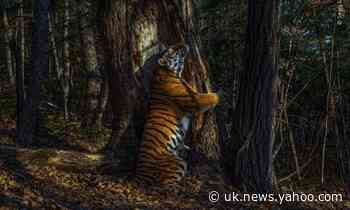 Image of tiger hugging tree wins 2020 wildlife photographer award
