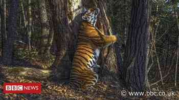 Hidden camera's hugging tiger wins wildlife photo award