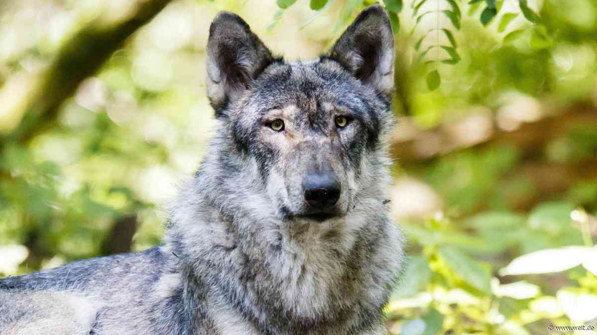 Brandenburg: In der Schorfheide auf der Suche nach dem Wolf - WELT