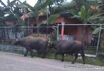 Búfalos andan sueltos en El Polvorín de Cativá - Crítica Panamá
