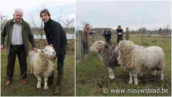 """Jaar wachttijd voor exclusieve hamburgers van Latemse schapen: """"Wordt gegeten op koninklijke huwelijken"""""""