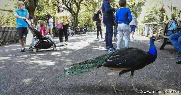 """Ravenna alle prese con 30 pavoni indisciplinati: """"rovinano auto e rubano le merende ai bambini"""". Il Comune progetta la rieducazione"""