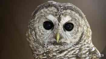 Feds urged to step in to stop logging in B.C. refuge of last breeding pair of spotted owls