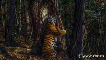 An Amur tiger hugging a tree and other images from this year's Wildlife Photographer of the Year competition