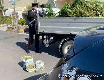 Bovolone, coltivava marijuana in casa: un arresto in via Quasimodo - Daily Verona Network - Daily Verona Network