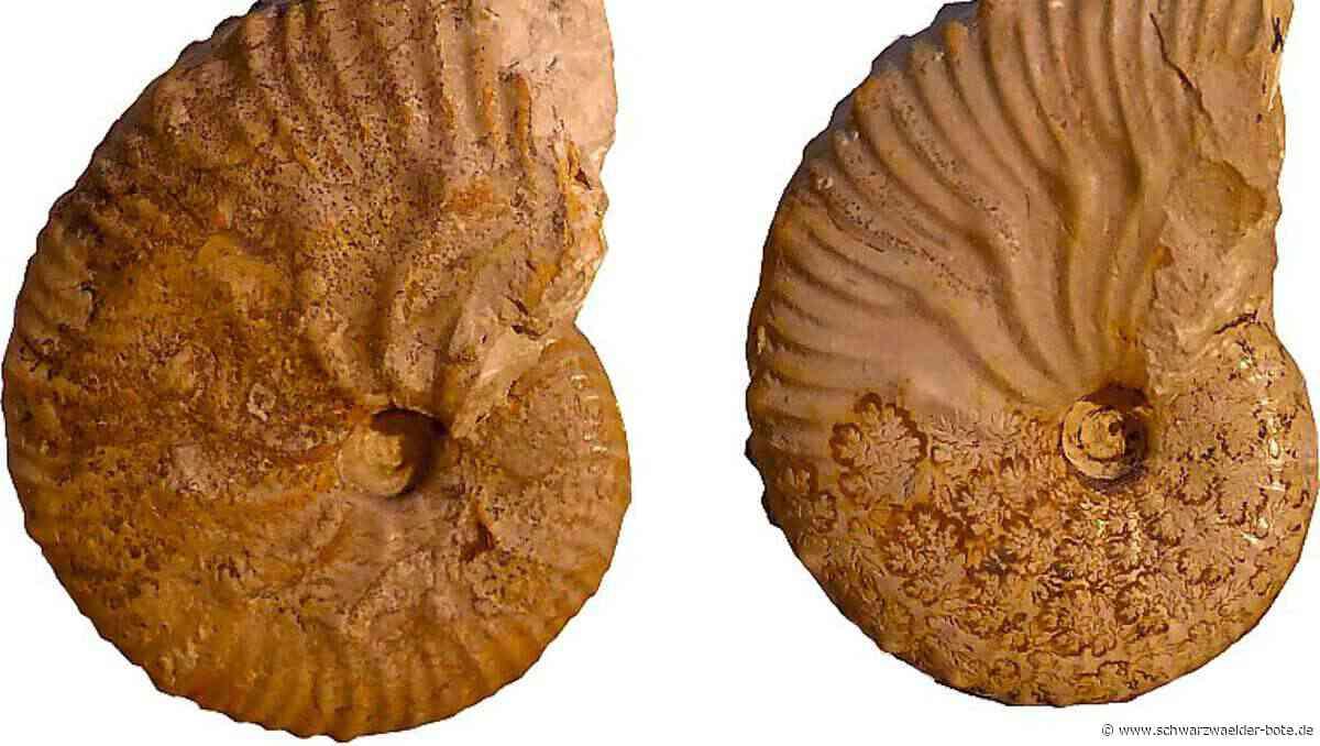 Dotternhausen: Fossilien finden auch international große Beachtung - Dotternhausen - Schwarzwälder Bote